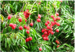 Lychees Fruit Farms - YP Farms